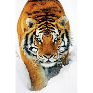 Tiger in the snow Plakát, (61 x 91,5 cm)