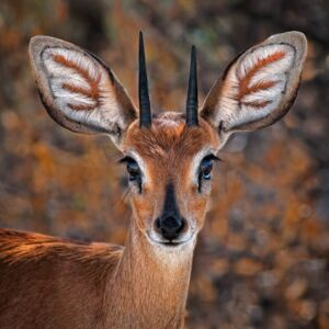 Steenbok, one of the smallest antelope in the world, (128 x 128 cm)