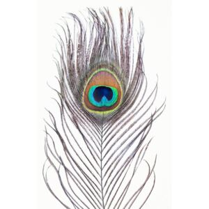 Peacock feather, (85 x 128 cm)